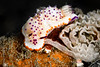 NUDIBRANCH - Mexichromis sp. laying eggs8201-Edit