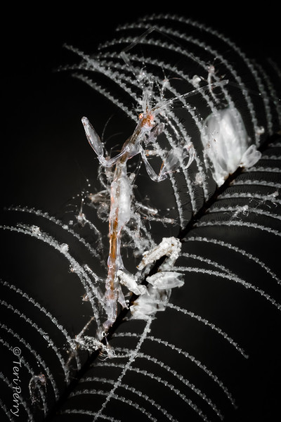 "AMPHIPOD - caprellidae ""skeleton shrimp""_-Edit"