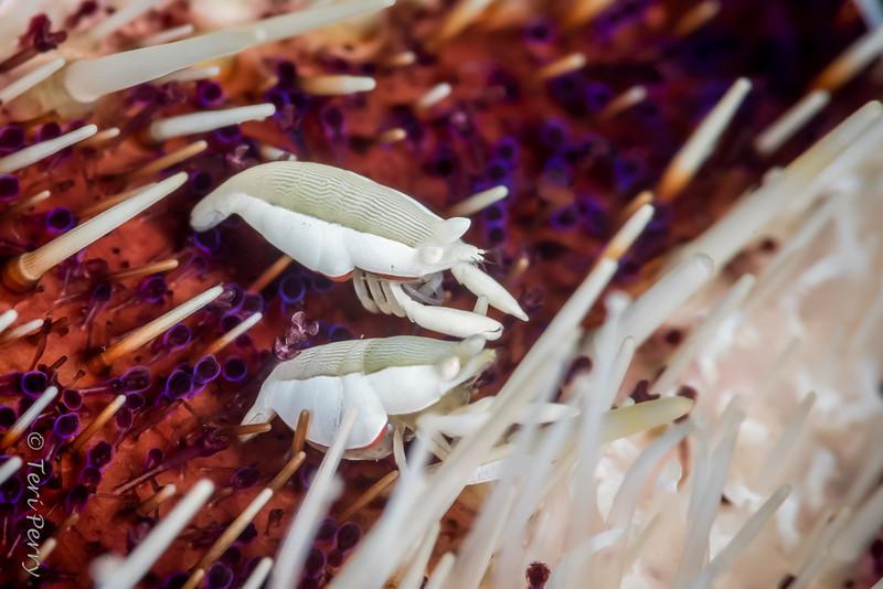LOBSTER - squat lobster >1cm on urchin8315-Edit
