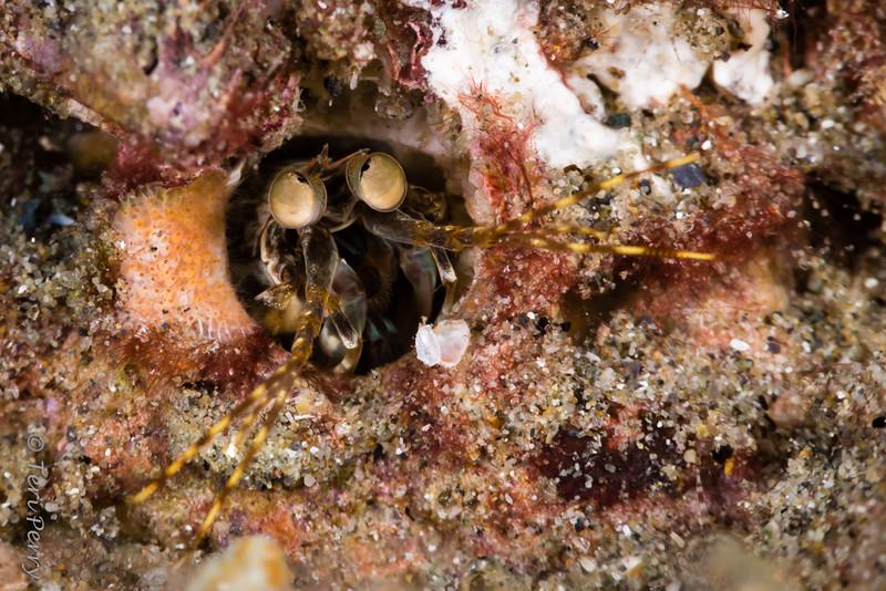 SHRIMP - mantis home-9185