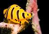 MOLLUSC - tiger cowrie-8187