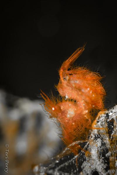 """SHRIMP - """"hairy"""" algae with eggs-2"""