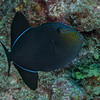 Black Durgon