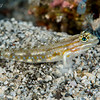 Sand-Canyon Goby