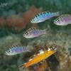 Chalk Bass and aTobaccofish