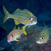 Smallmouth Grunt, Yellow Goatfish
