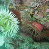 Fish eating and white spotted anemones