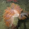 Giant Nudibranch eating Tube dwelling anemone