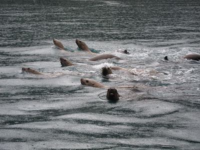 Just a few of the rascals in the water today.  I think this was the bunch that was harrassing a humpback whale earlier.