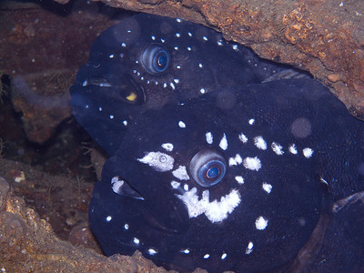 Prowfish, same family (and size) as wolf eel.  Mated pair.  Very cool!