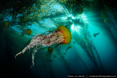 Pacific sea nettle jellyfish (Chrysaora fuscescens) swim below the kelp canopy. Pinnacles, Carmel Bay, California.
