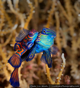 At dusk, Mandarinfish (Synchiropus splendidus) come out from hiding to mate.  Lembeh Strait, Indonesia
