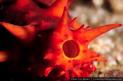 The tail end of a California sea cucumber (Parastichopus californicus) at Hopkins Deep. Monterey Bay, California.
