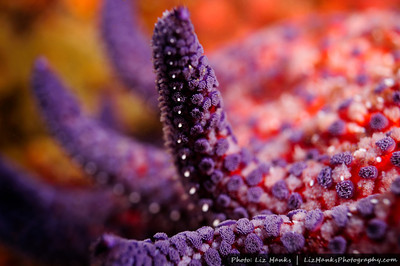 A sunflower sea star (Pycnopodia helianthoides) raises one of its arms. Bullbuster, Monterey Bay, California.