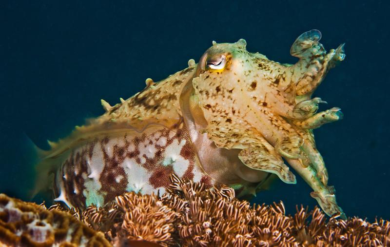 Broadclub cuttleish