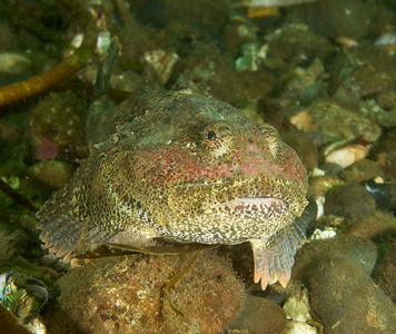 Buffalo Sculpin with a rosy complexion.  I imagine this guy telling a story.  It would be a great nitrogen narcosis story I'm sure.