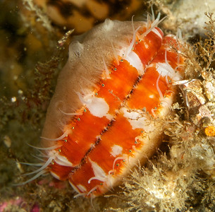 """Spiny Pink Scallop.  The lines of dots are light sensitive """"eyes"""".  The top shell hosts a sponge colony."""