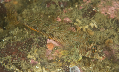 Longfin Sculpin.  They were everywhere, all weekend.