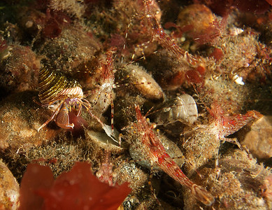 Coon Striped Shrimp going to battle with a Widehand Hermit.  Five shrimp in this picture, eight total including two behind the crab.  I could not tell who was the aggressor or what the issue was.   Bottom line - don't mess with shrimp at Keystone Ferry.