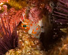 Red spotted coral blenny
