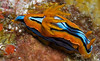 Nudibranch (chromodoris)