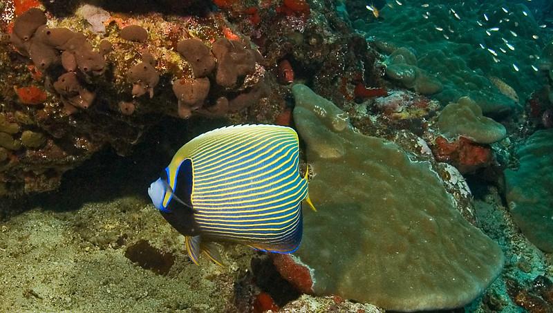 Gueen angelfish