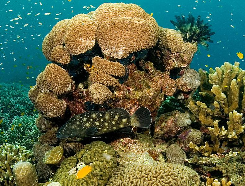 Whitespot grouper