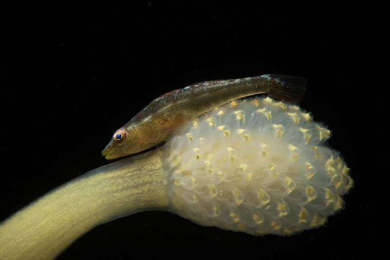 Biglip Ghostgoby -Pleurosicya labiata