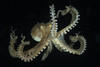 Coconut Octopus-Amphioctopus marginatus
