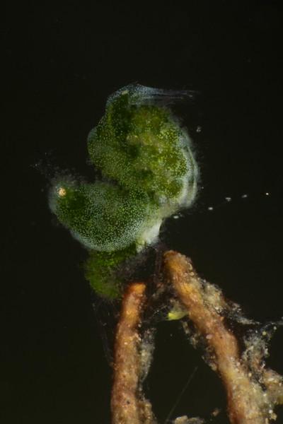 Algae Shrimp,size 2-3 mm