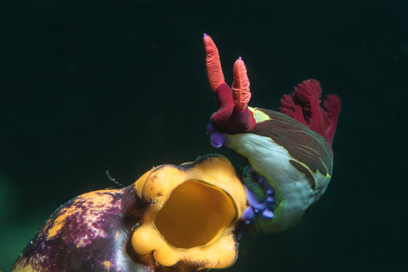 Nembrotha chemberlaini on sea squirt.
