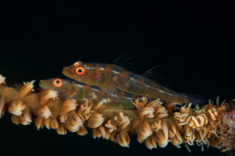Pair of whip Coral Gobies with shrimp