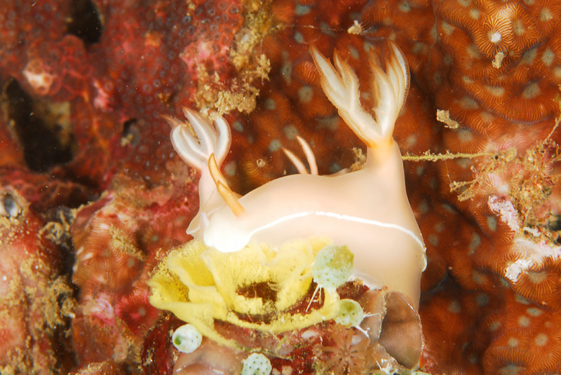 Hypselodoris bullockii laying eggs