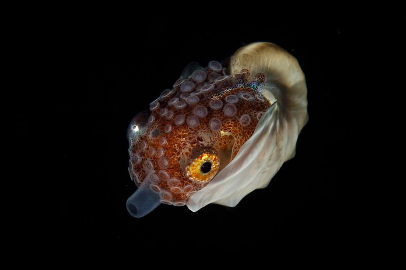 Female Paper Nautilus jets away