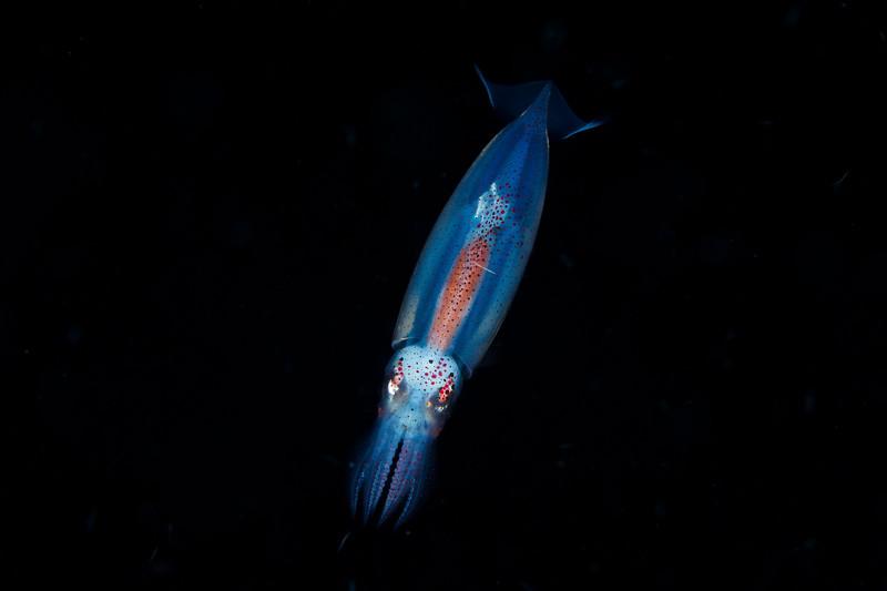 Diamond squid (?) at night