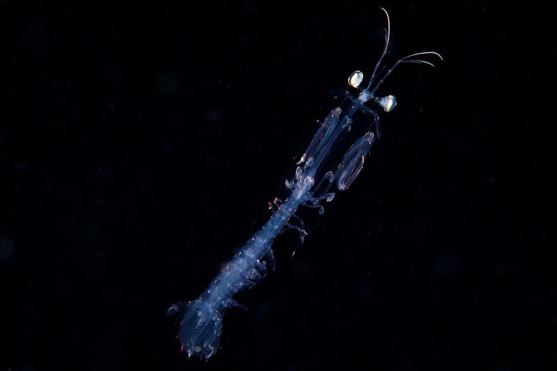Another stage of Mantis shrimp development