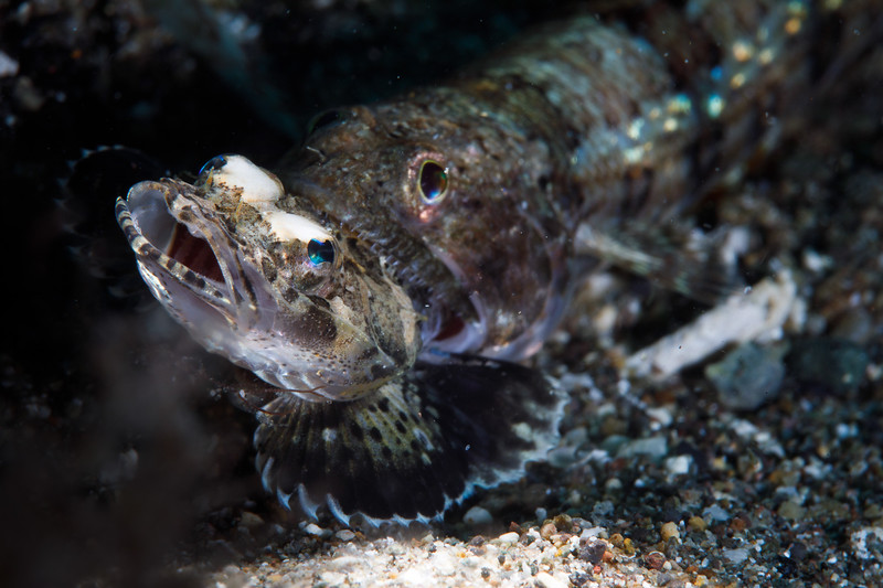 A Lizardfish chomps down on an unlucky Flathead