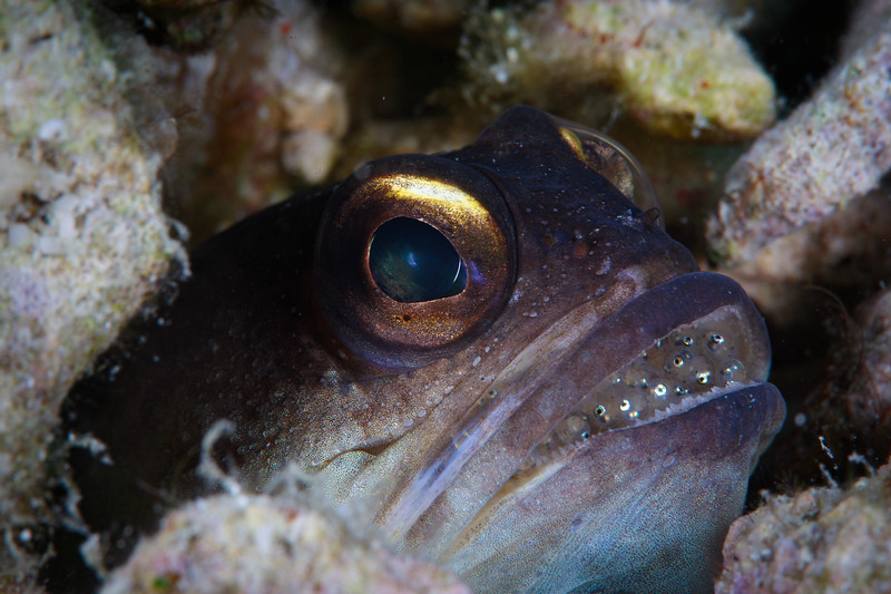 Jawfish pops out of his hole with eggs in mouth