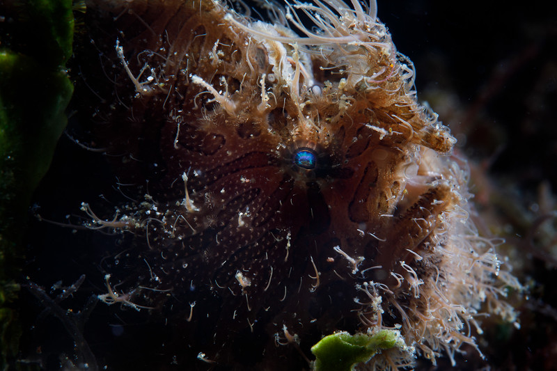 Hairy frogfish with flattering backlighting