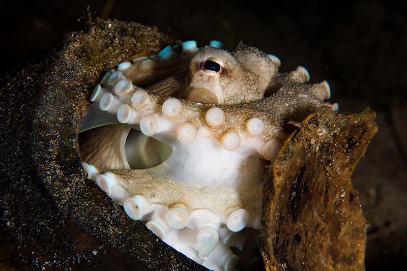 Coconut octopus seals himself in a coconut