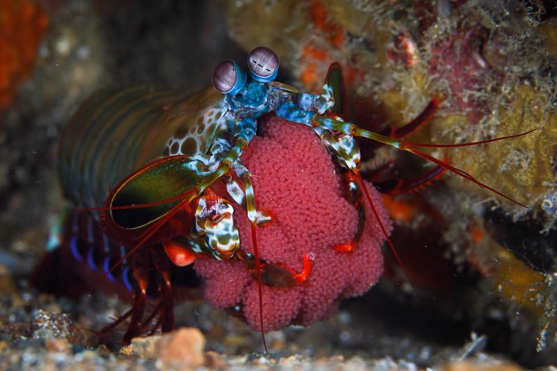 Mantis shrimp clutches eggs