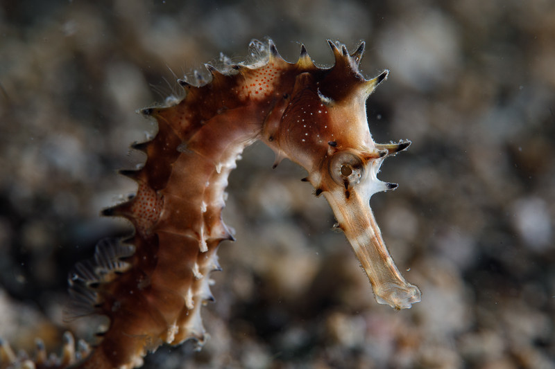 Seahorse grasps some grass, possibly Hippocampus histrix