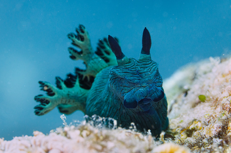 Large Nembrotha milleri with blue water background