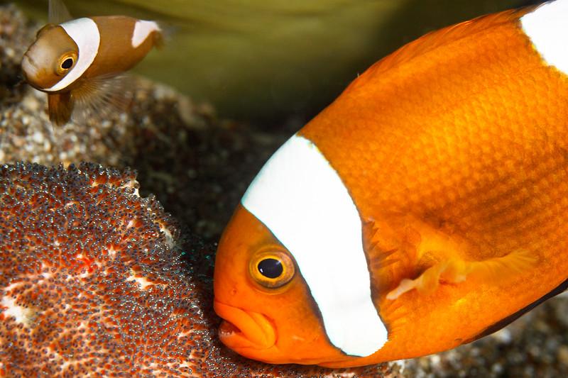 Anenome fish, juvenile, and eggs