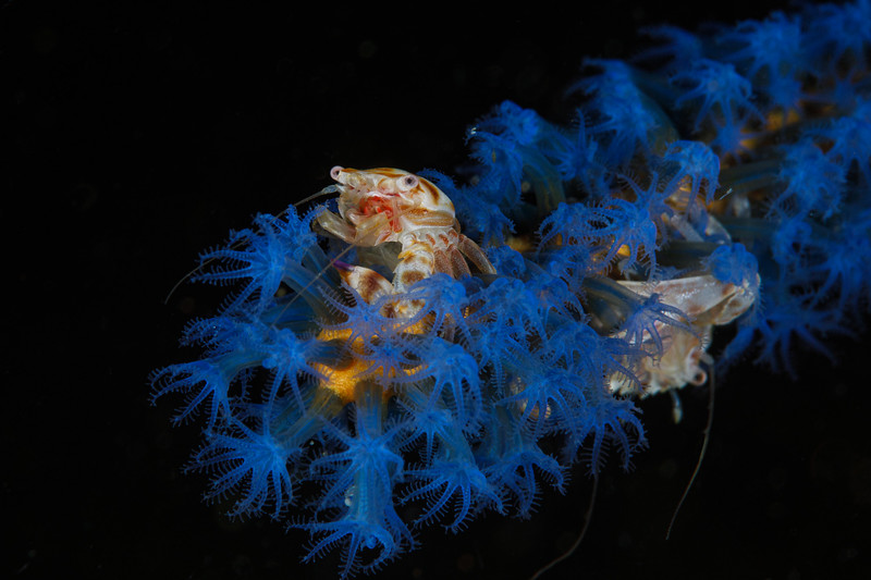 Porcelain Anemone Crab on soft coral with friend behind
