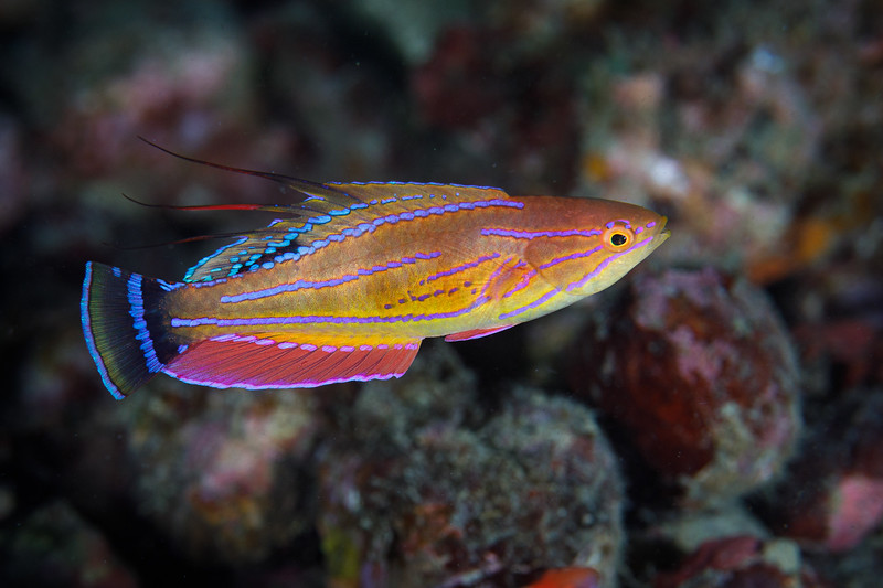 A male Flasher wrasse starting to display