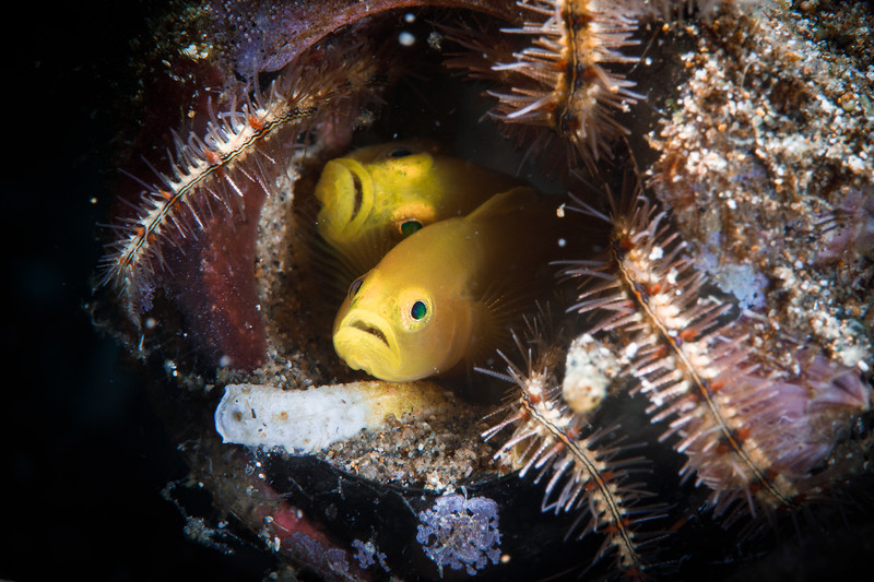 A pair of Lemon Gobies in their discarded bottle home