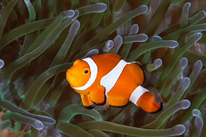 Anenomefish strikes a Nemo pose
