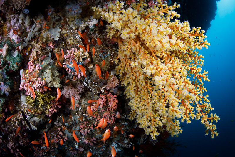 Anthias school in the shade of a large section of soft coral.