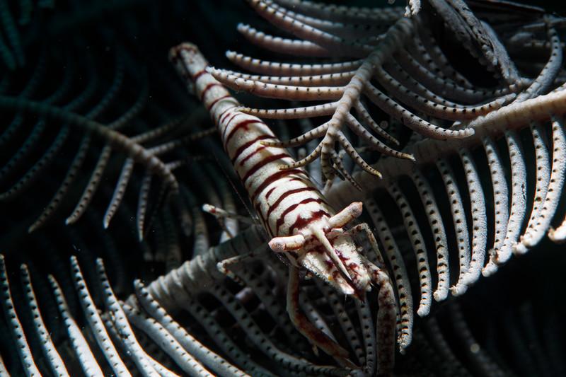 Crinoid shrimp doing what Crionoid shrimps do